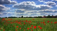 field-of-poppies-50588